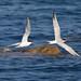 Tern Formation