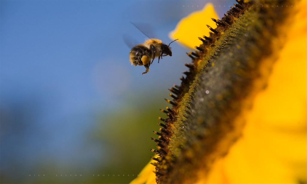 Bumblebee bug flying