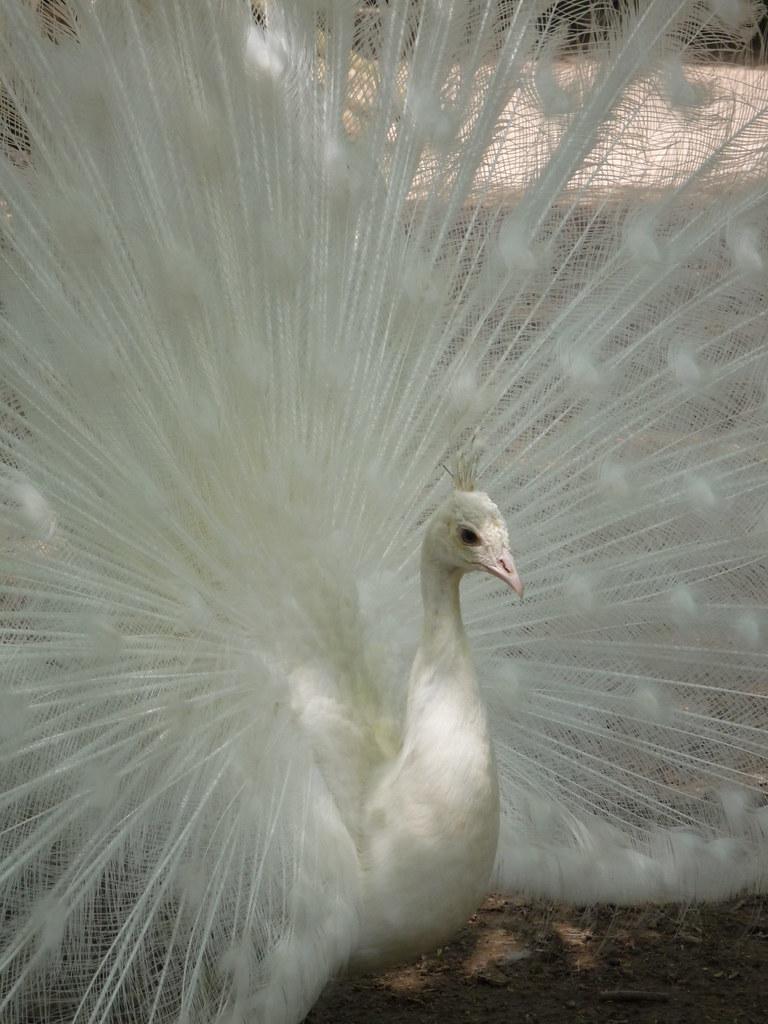 Albino Peacock 4 | Marije Baas 2008 | Marije Baas | Flickr