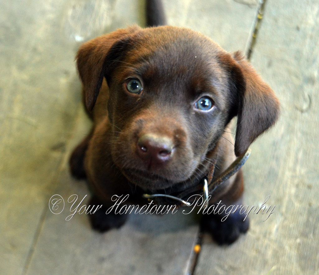 Image result for chocolate lab