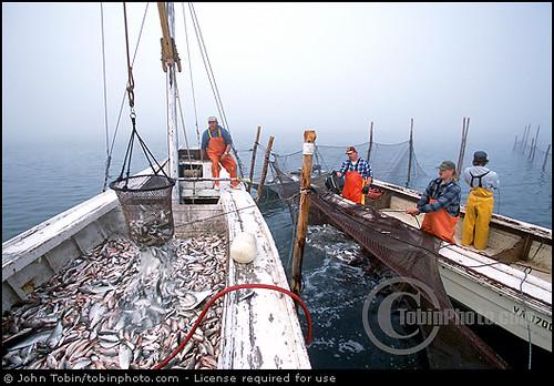 Chesapeake bay commercial fishing chesapeake bay for Fishing chesapeake bay