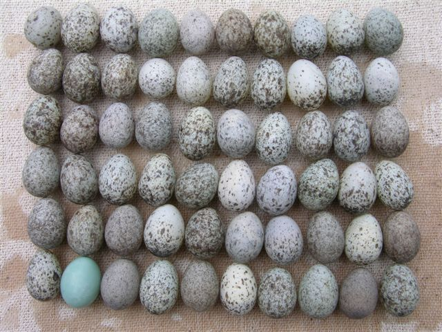 House Sparrow Eggs Color 59 House Sparrow Eggs From