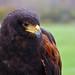 Manchester Hawk 2004-tiff