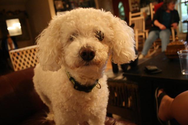 Poodle-dog