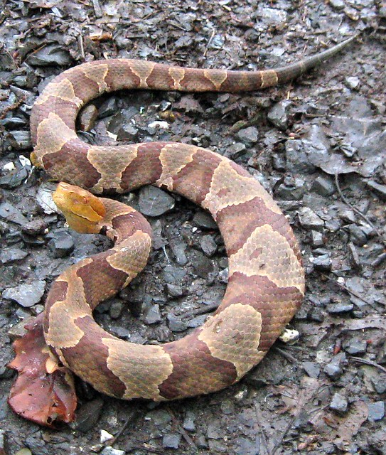 Northern Copperhead Snake In Morgan County West Virginia