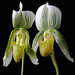 Twin Orchid