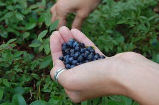 blueberry picking | by ChrisDag