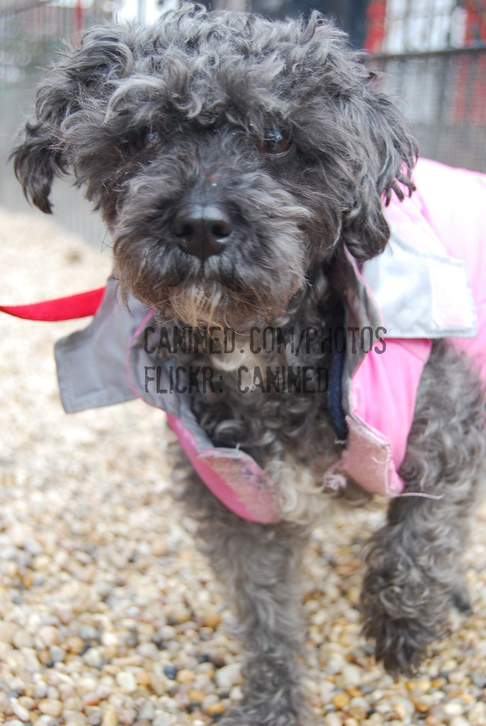 Canined Gray Yorkiepoo Yorkipoo Yorkshire Terrier Poodle H