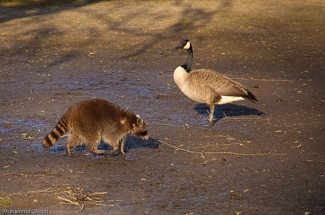 animals in harmony raccoon and canadian goose freely. Black Bedroom Furniture Sets. Home Design Ideas