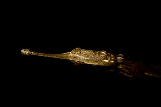 Crocodylus johnstoni | by brian.gratwicke