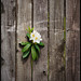 Flower and Fence
