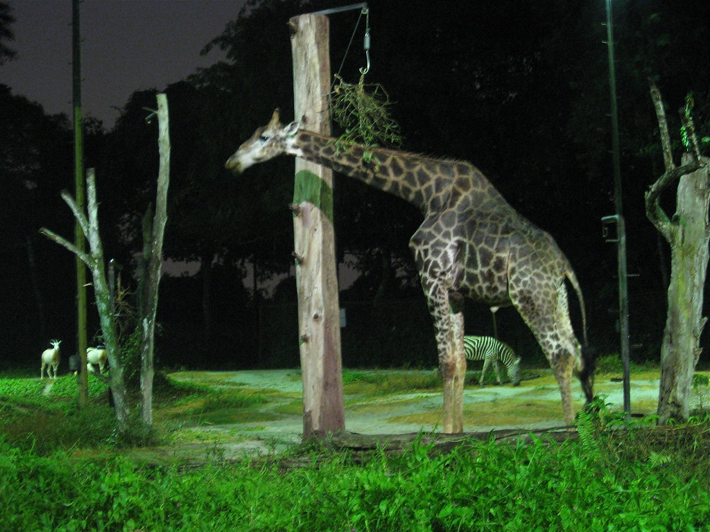 giraffe at night night safari zoo singapore glen. Black Bedroom Furniture Sets. Home Design Ideas