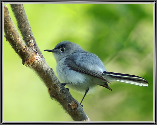 Blue-gray Gnatcatcher | by byard