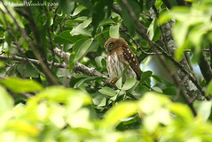 Ferruginous Pygmy-Owl | by Michael Woodruff
