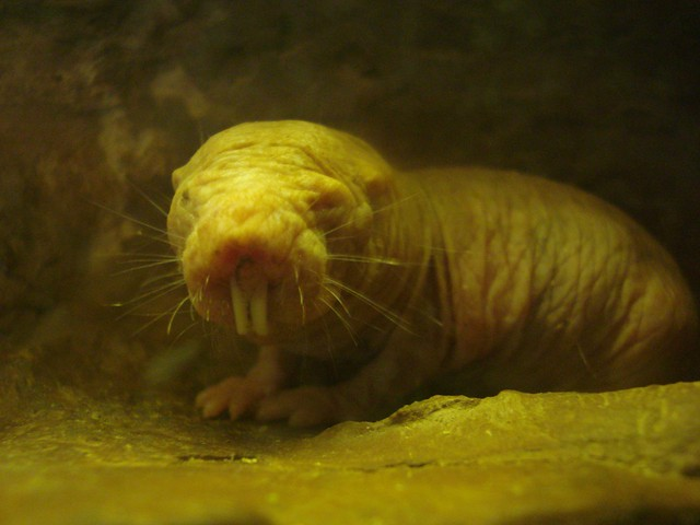 Naked Mole Rat  A Face Only A Mother Could Love - And -9894