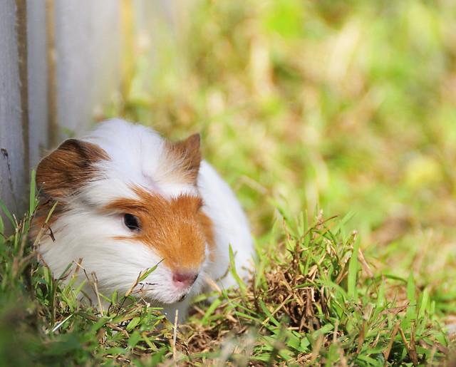 Image Result For Christmas Guinea Pig