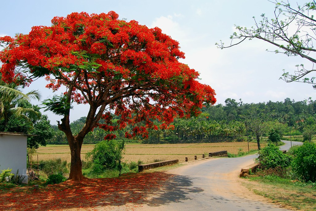 Delonix regia gulmohar tree coorg south india dan for Arboles frondosos para jardin