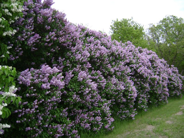 Lilac Bushes The Lilacs In Both Sd And Iowa Were
