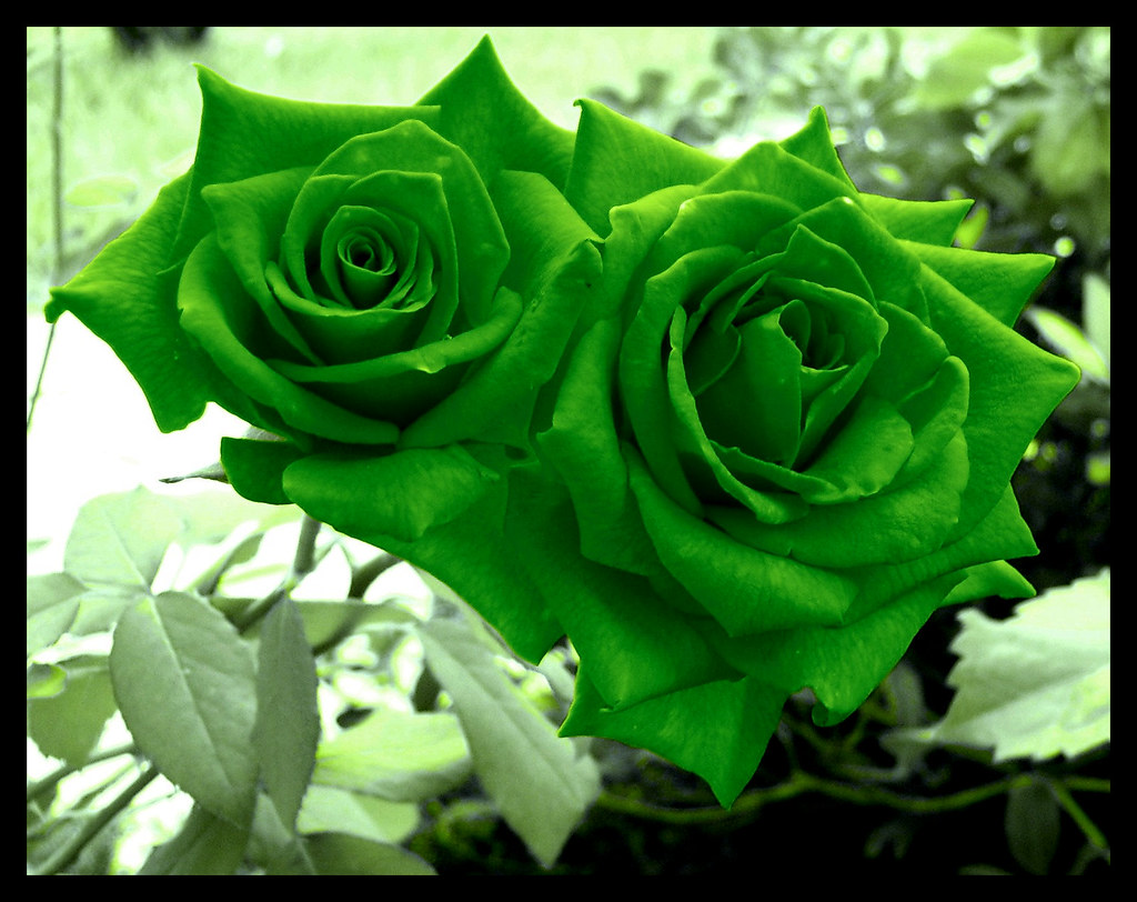 Green roses they were initially orange red i edited the for Green colour rose images
