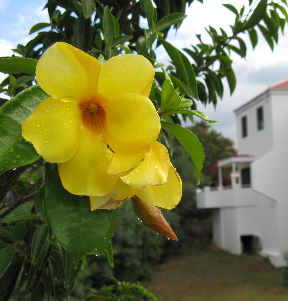 Ginger Thomas flower | Sunset Ridge, St. John ...