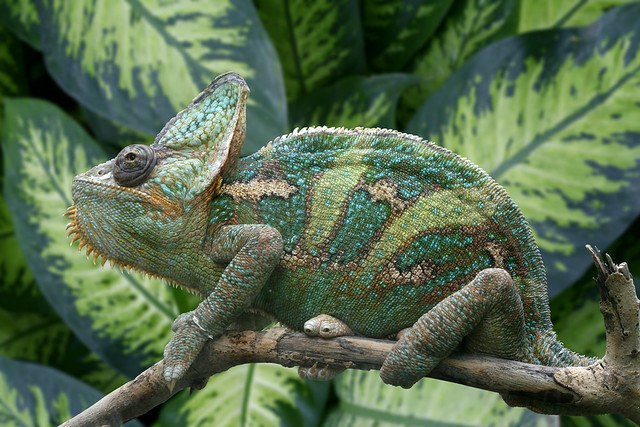 R Chameleon Amazon Chameleon | Benji want...