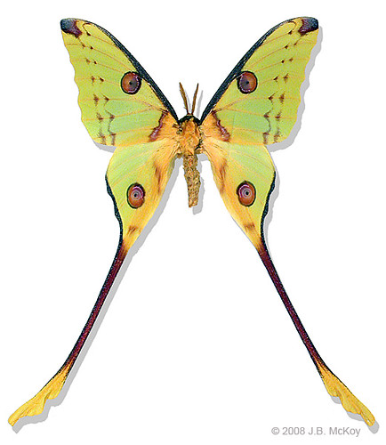 African moon moth One of the most incredible lepidoptera i ...