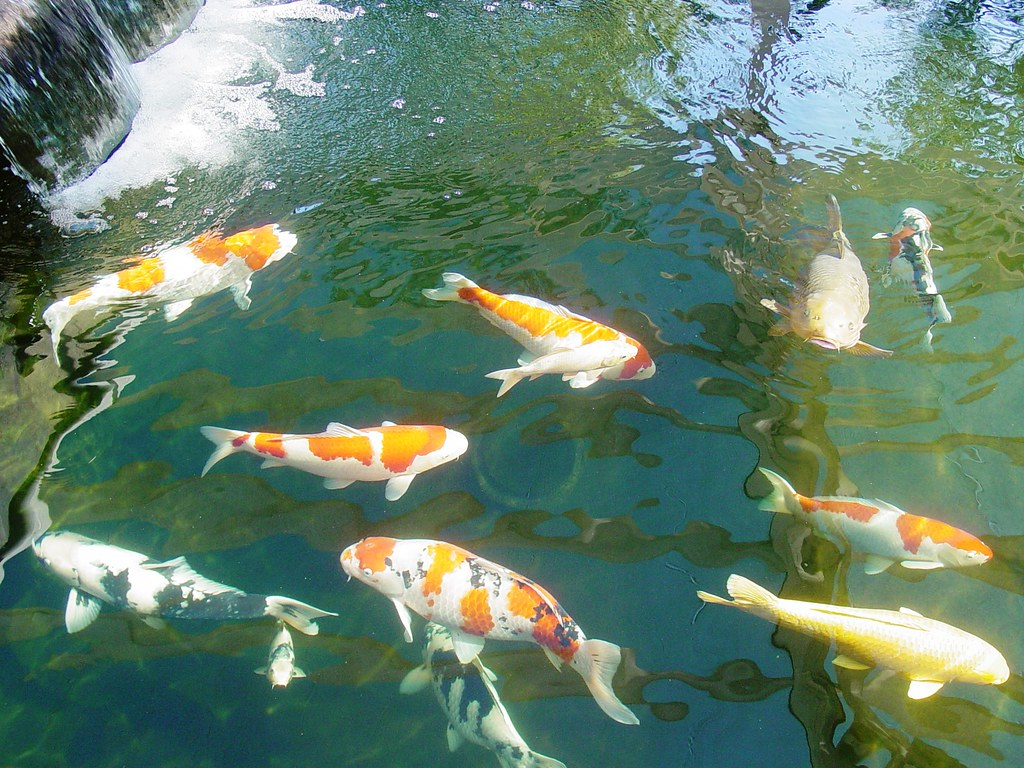 Koi in the big pond with water fall mystic koi and water g for Koi pool water gardens blackpool