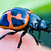 Swamp Milkweed Leaf Beetle