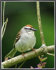 Chipping Sparrow | by byard