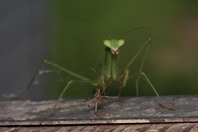 Praying Mantis eating a spider | d_jgreene | Flickr