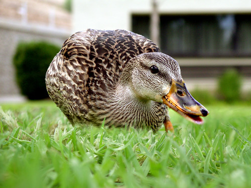 Crazy duck! | by Lisa Brewster
