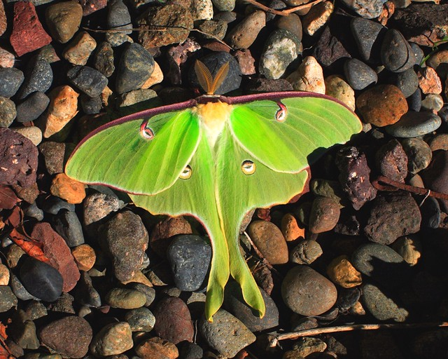 Luna Moth This Luna Moth Was On The Ground Next To The