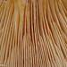 Lâminas de Cogumelo // Mushroom lamellae (Lactarius tesquorum)