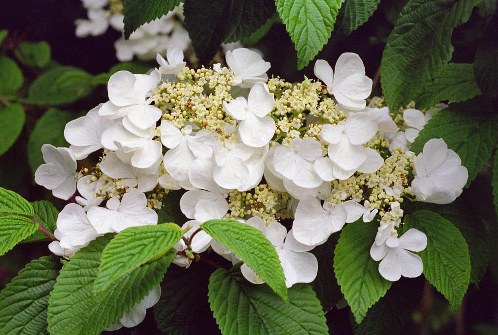 viburnum plicatum tomentosum 39 mariesii 39 caprifoliaceae c flickr. Black Bedroom Furniture Sets. Home Design Ideas