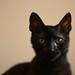 simon flavius cat