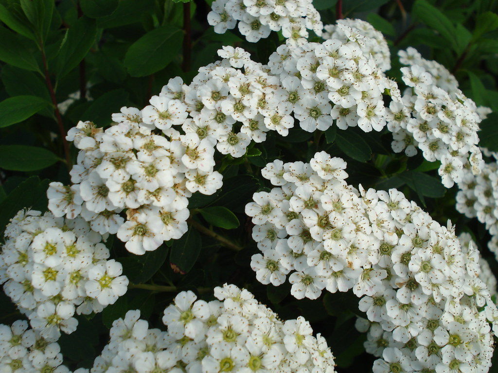 Small white flower clusters | allispossible.org.uk | Flickr