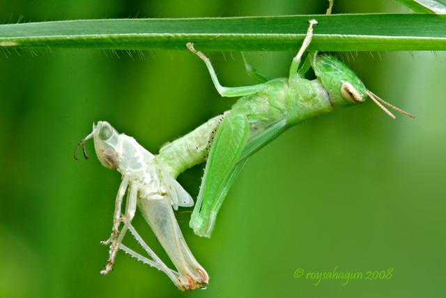 Molting Grasshopper 2