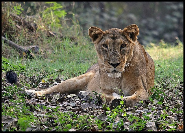 Panthera leo persica - photo#35