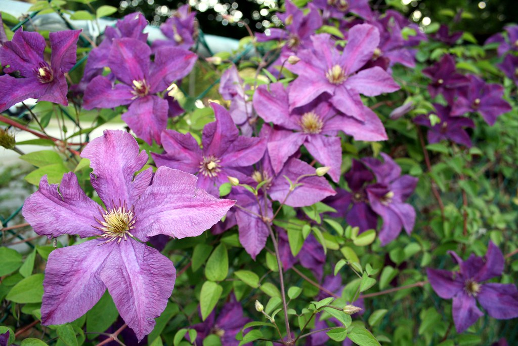 viticella clematis 39 polish spirit 39 arrowlakelass flickr. Black Bedroom Furniture Sets. Home Design Ideas