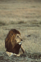Lion | by World Bank Photo Collection