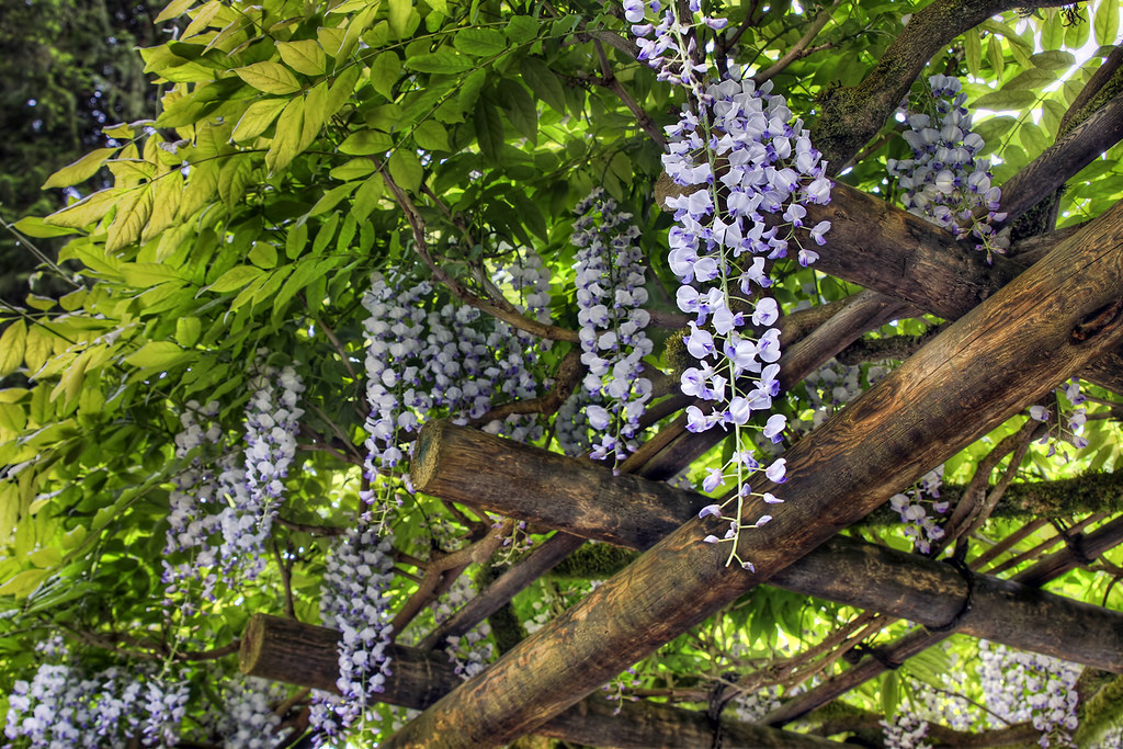 Wisteria blooming on pergola at portland japanese garden 3 - Portland japanese garden free day ...