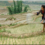 We are planting the rice now (6)