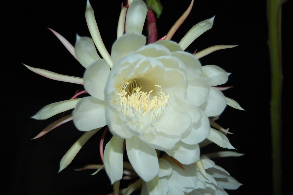 Brahma Kamalam Flower Blooms Only In The Night And