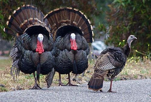 Wild Turkeys | by flythebirdpath > to Adirondack Autumn