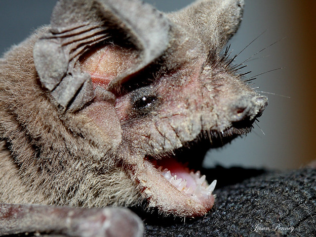 Mexican Free Tailed Bat Tadarida Brasiliensis This