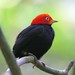 1.5 days in Costa Rica: Red-capped Manakin