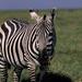 A zebra grazes