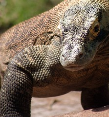 komodo dragon | by VSELLIS