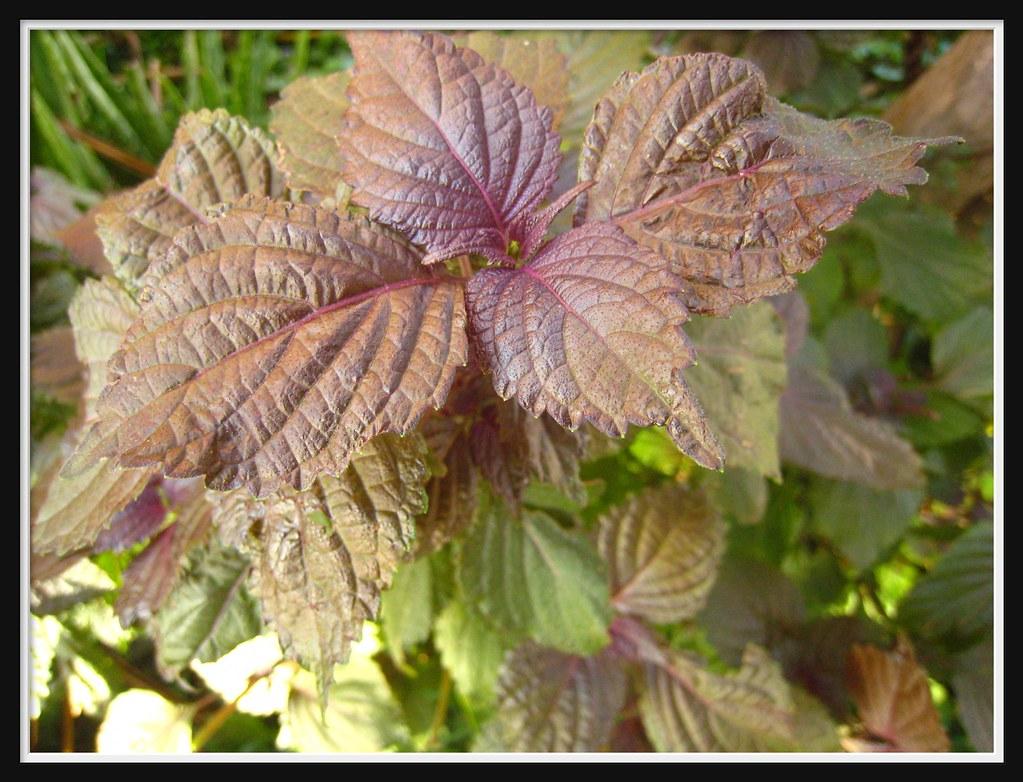 Perilla Britton Saatgut: 紫蘇Perilla Frutescens (L.) Britton--03