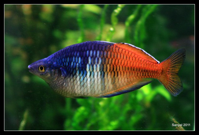 Boesemani Rainbow Melanotaenia Boesemani Flickr